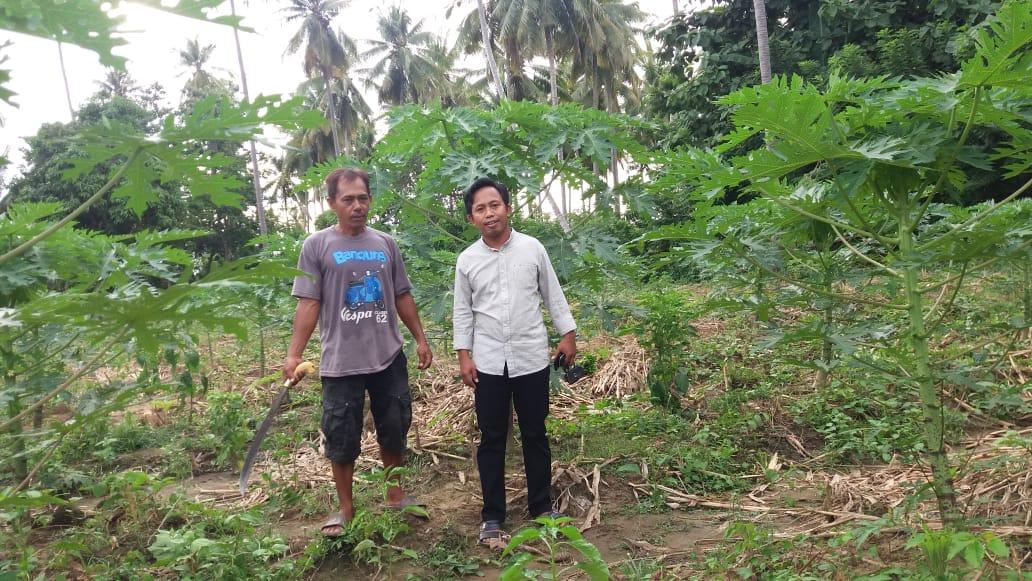 Ardi A, SP., MP Wakil Ketua DPRD Bombana saat mengunjungi Petani Pepaya California di Poleang Timur Bombana